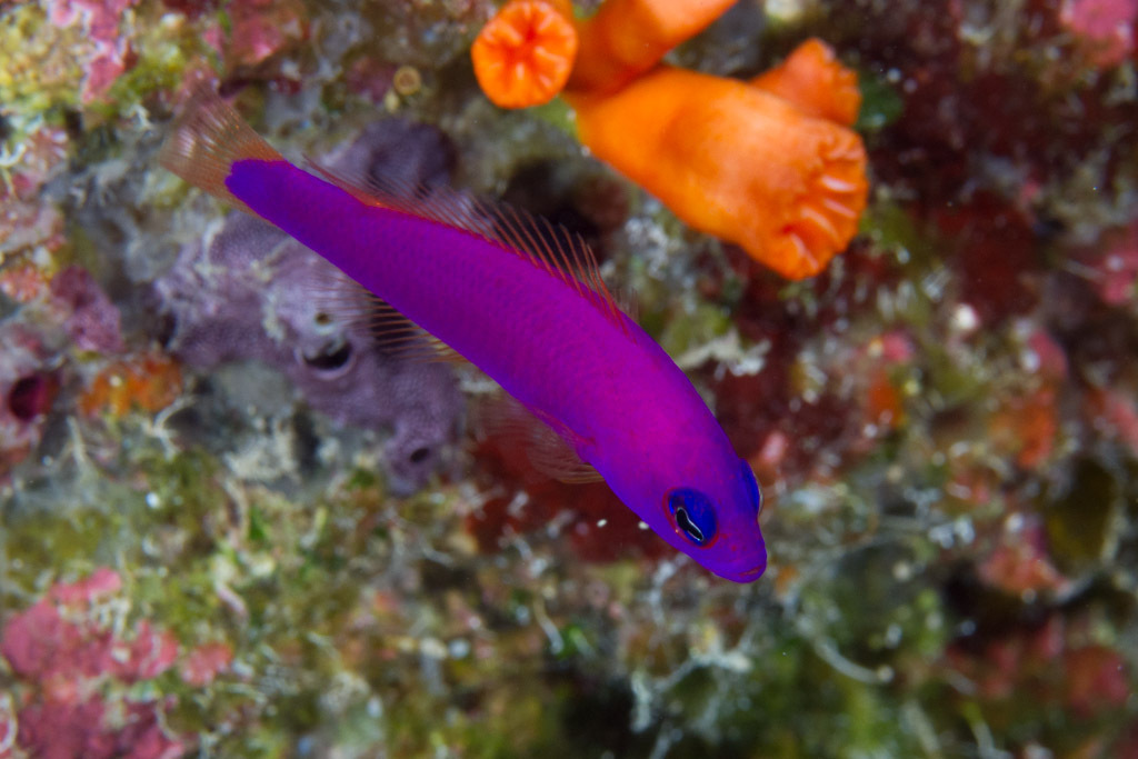 Image of Magenta dottyback