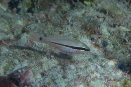 Image of Bridled cardinalfish