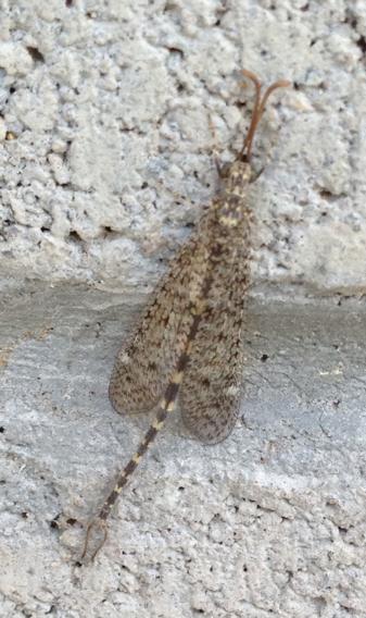 Image of <i>Brachynemurus sackeni</i> Hagen 1888