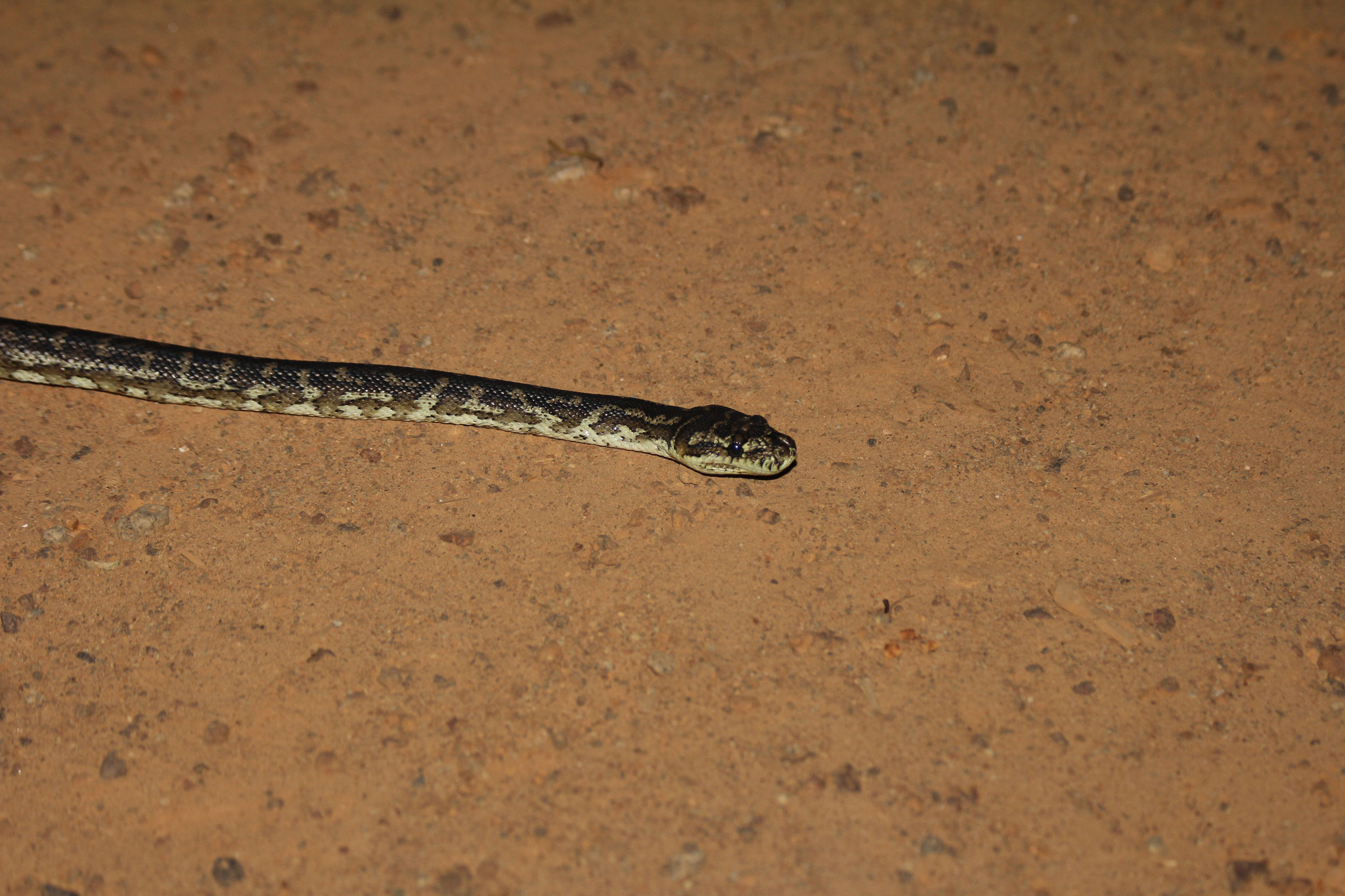 Image of Western Australian Carpet Python
