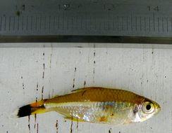 Image of Bandtail tetra