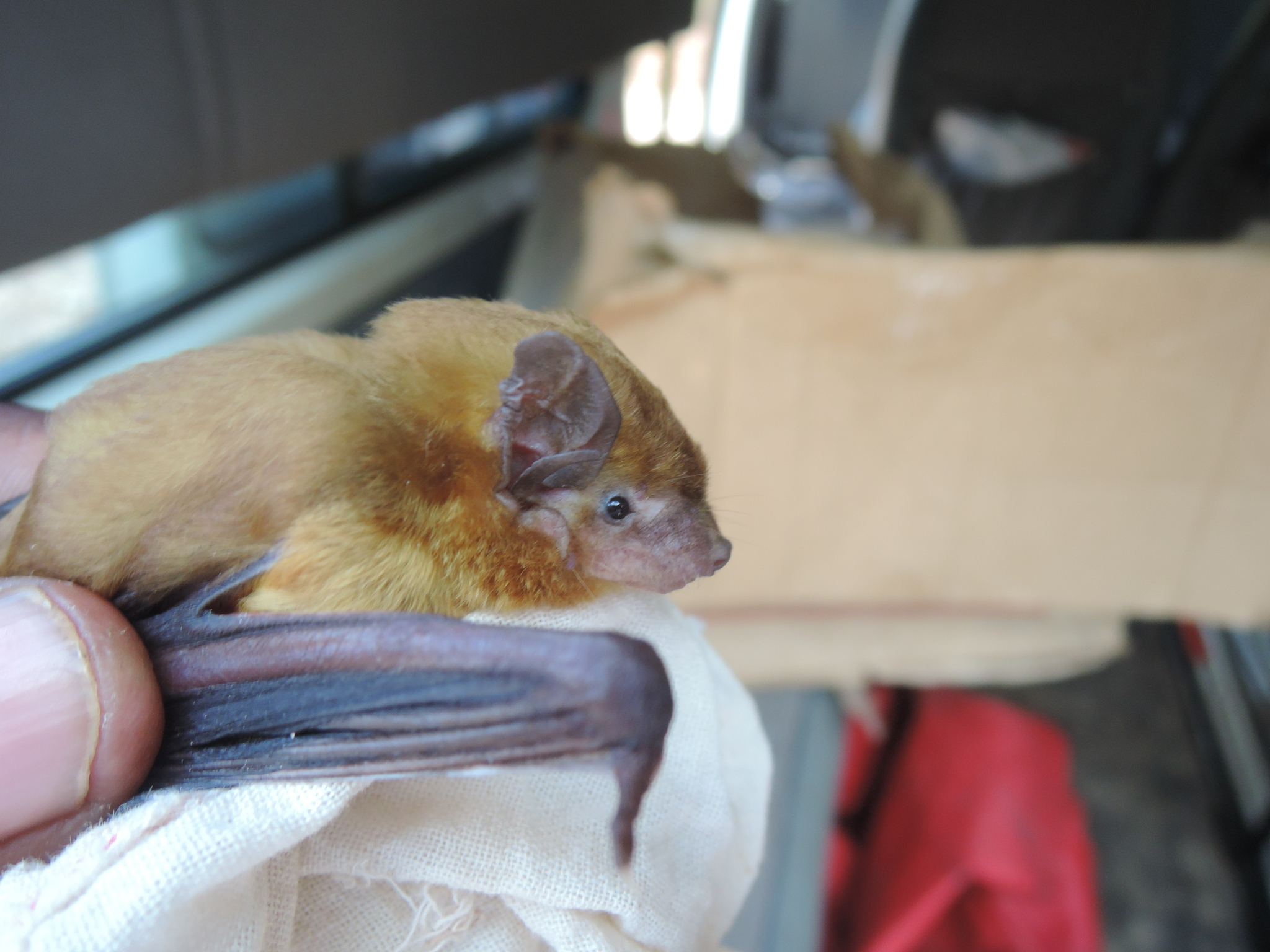 Image of Green House Bat