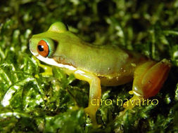 Image of Honduran Brook Frog