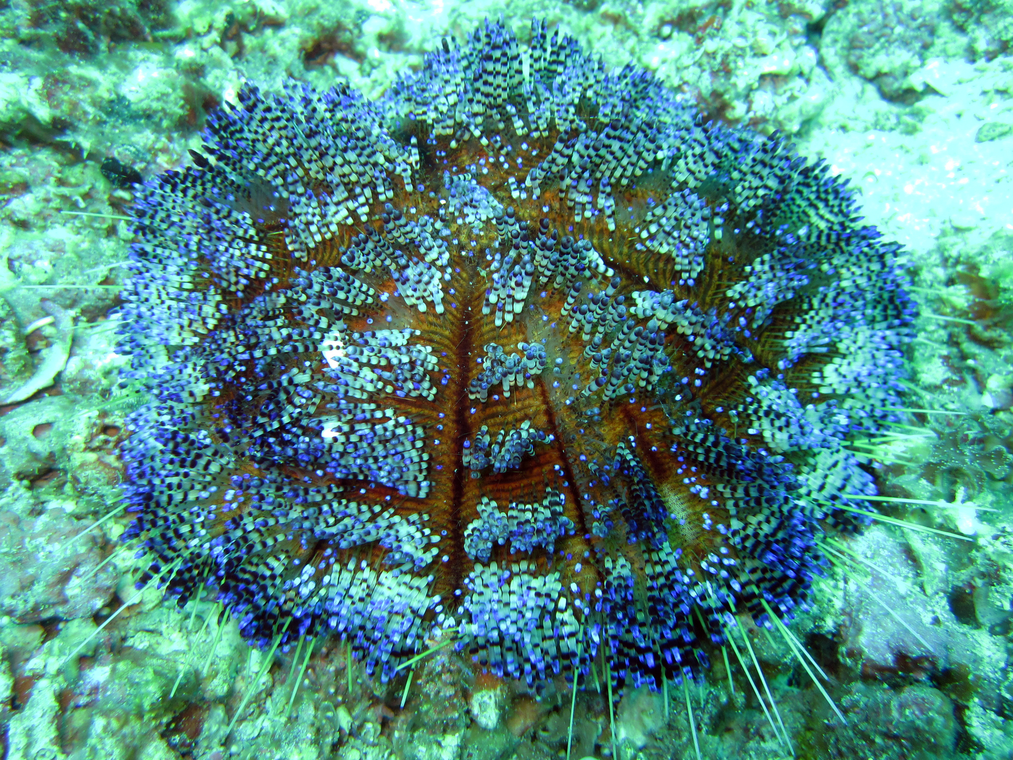 Image of variable fire urchin