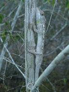 Image of Warty Chameleon