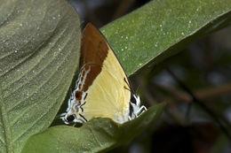 Image of <i>Charana mandarinus</i> (Hewitson 1863)