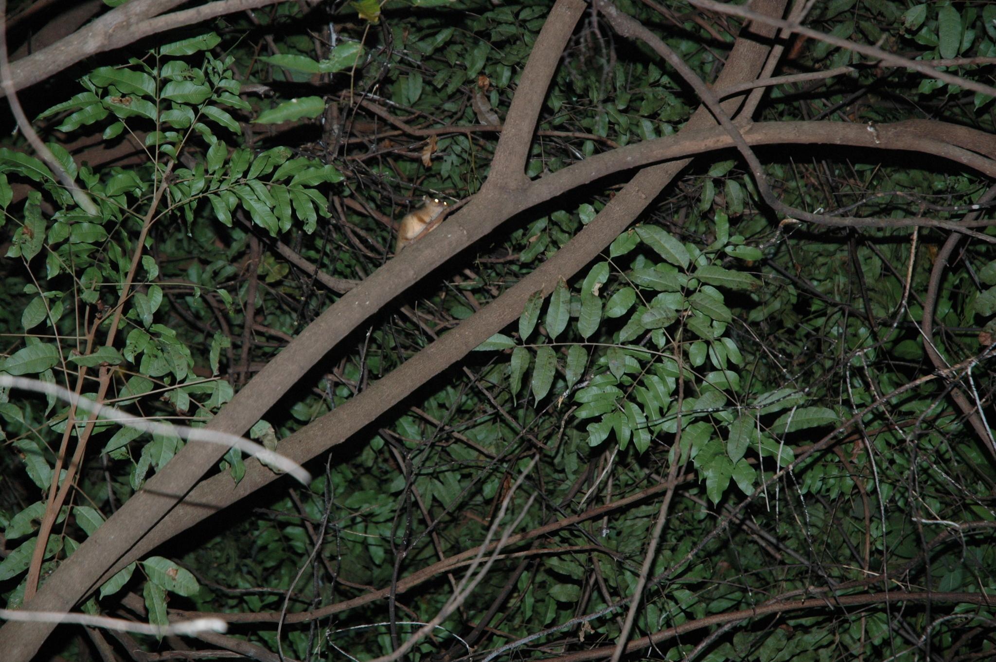 Image of Golden-brown Mouse Lemur