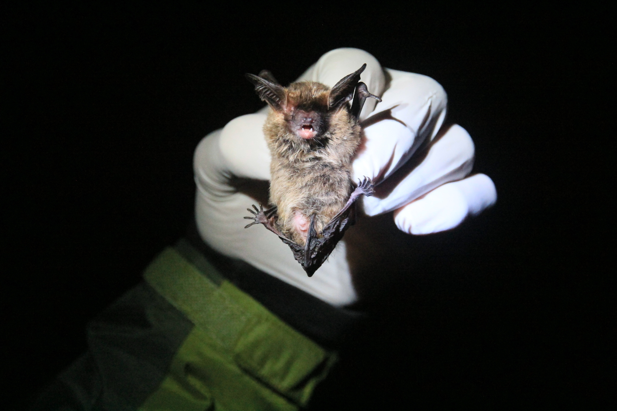 Image of Southern Big-eared Brown Bat