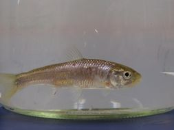 Image of Striped shiner