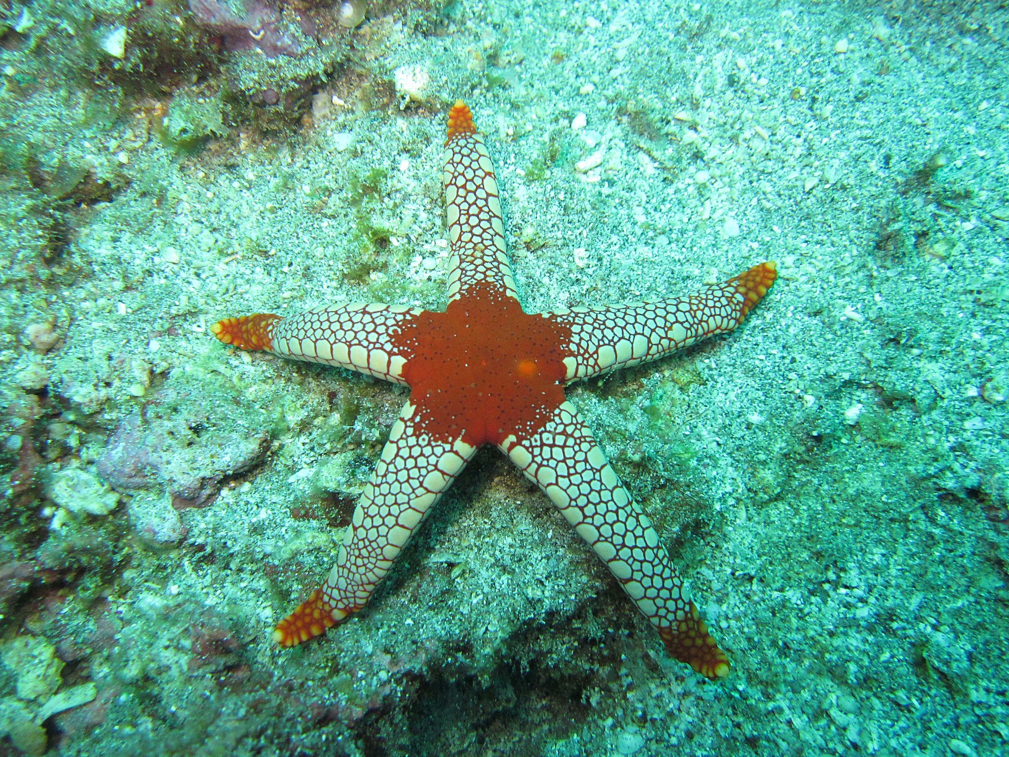 Image of Red and pink sea star