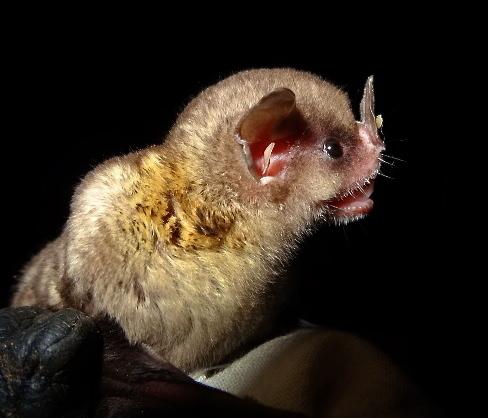 Image of Tilda's Yellow-shouldered Bat