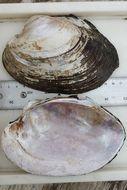 Image of <i>Potamilus purpuratus</i> (Lamarck 1819)