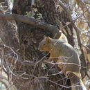 Image of Chiricahua Nayarit squirrel