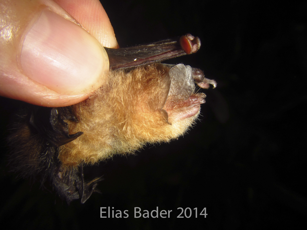 Image of Peter's disk-winged bat
