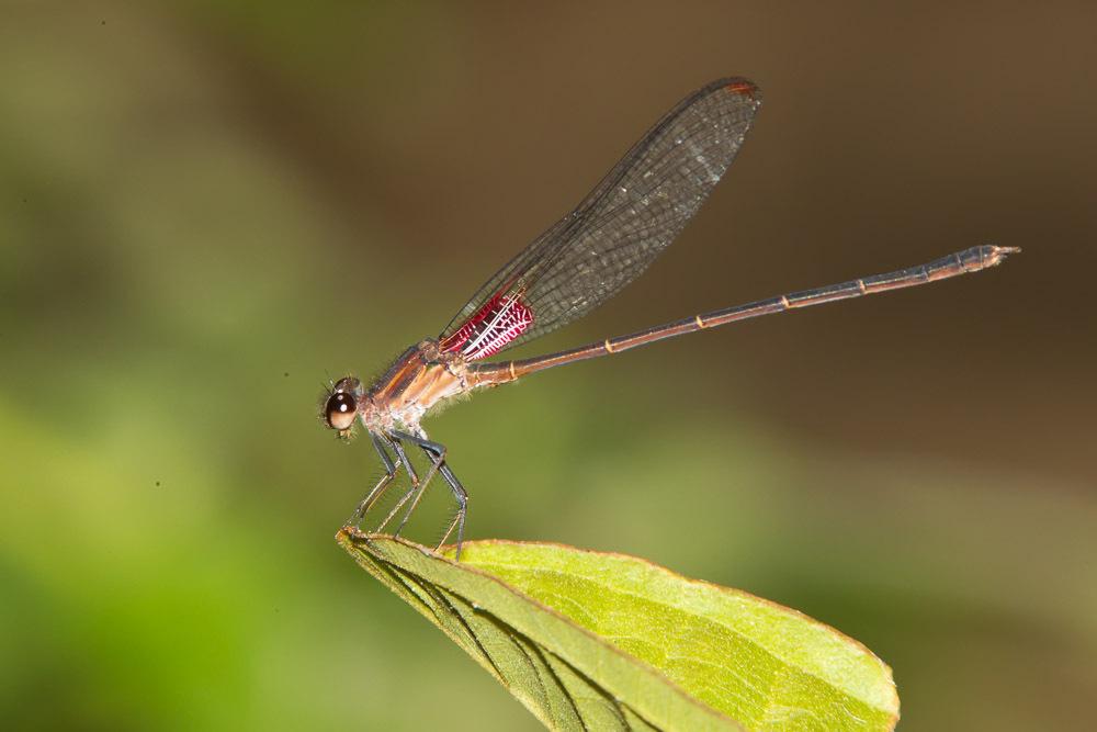 Image of <i>Hetaerina cruentata</i> (Rambur 1842)