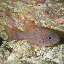 Image of Bandfin cardinalfish