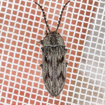 Image of <i>Dascillus davidsoni</i> (Le Conte 1859)