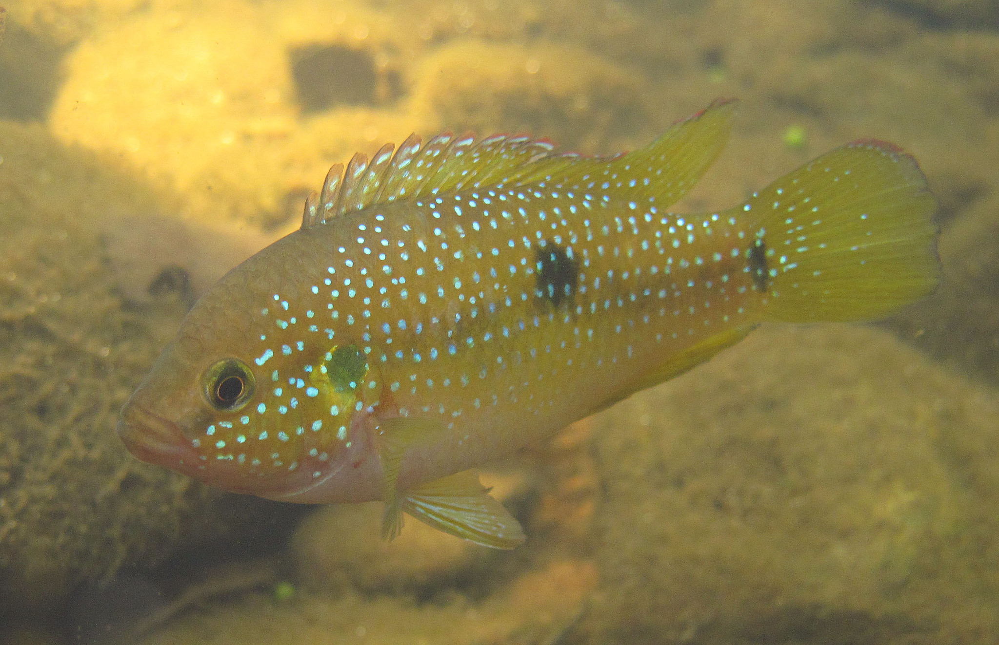 Image of spotted jewelfish