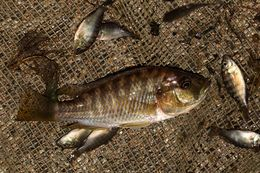 Image of Eastern River Bream