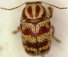 Image of <i>Cryptocephalus leucomelas</i> Suffrian 1852