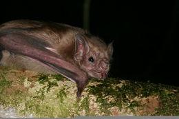 Image of White-winged Vampire Bat