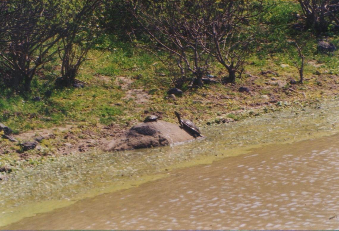 Image of Balkan pond turtle