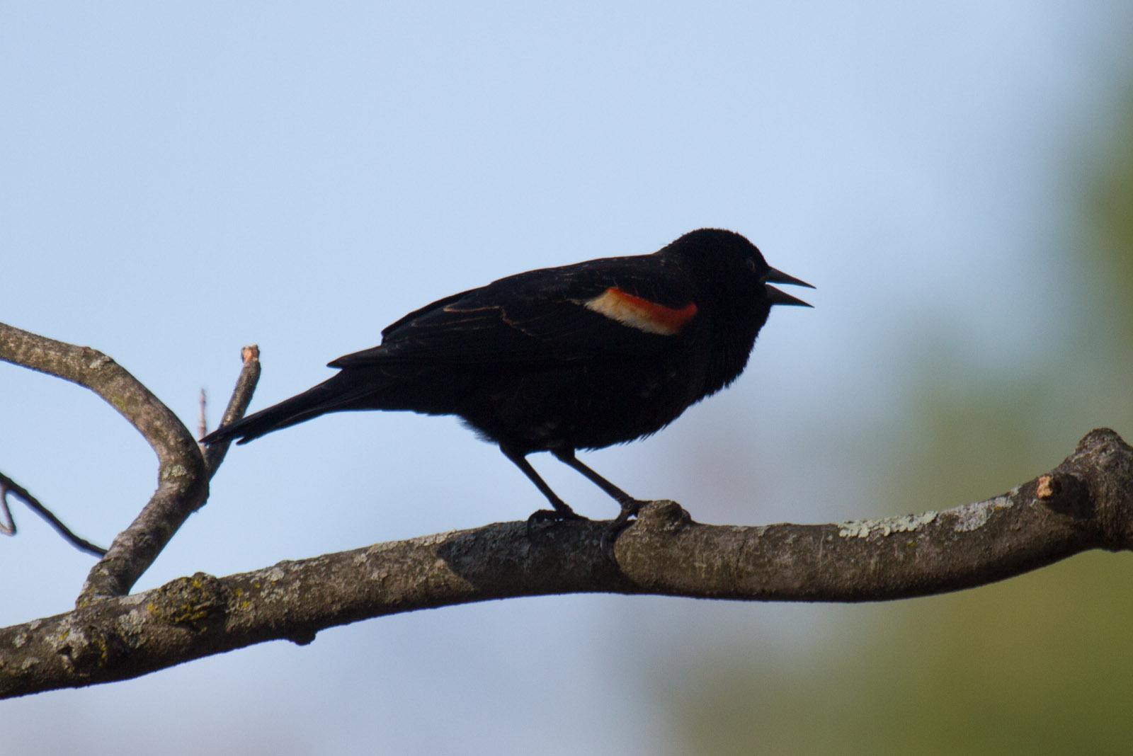 Image of Red-winged Blackbird