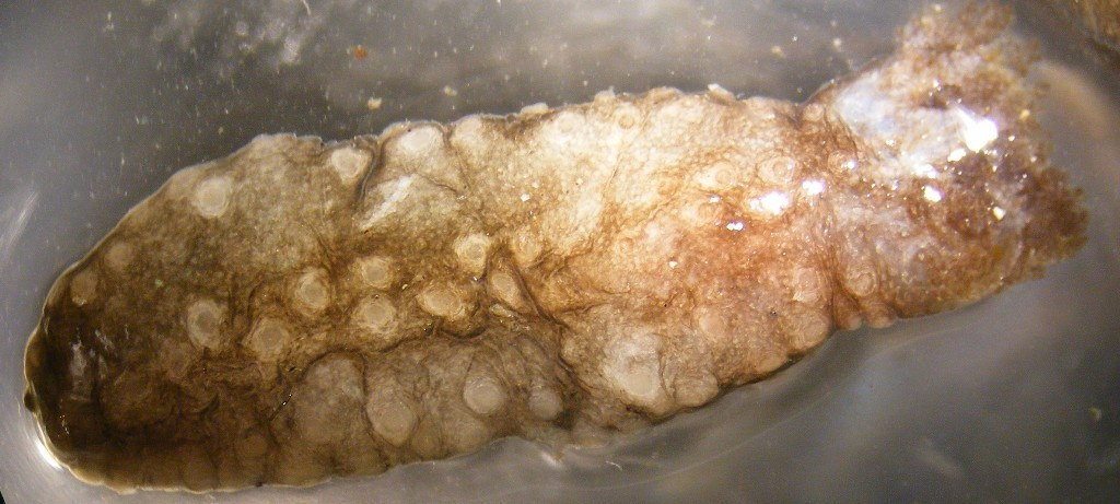 Image of <i>Cucumaria pseudocurata</i> Deichmann 1938