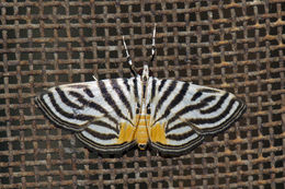Image of <i>Dichocrocis rigidalis</i> Snellen 1890