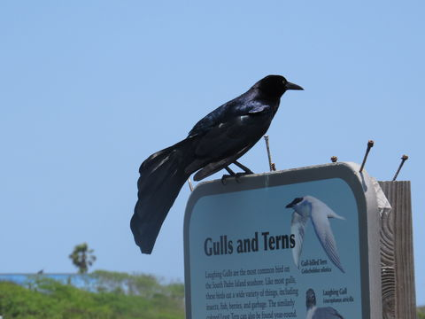 Image of Great-tailed Grackle
