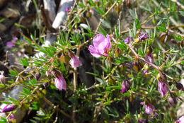Image of <i>Fagonia cretica</i>