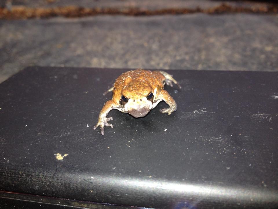 Image of Common Rain Frog