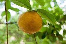 Image of <i>Citrus medica</i>