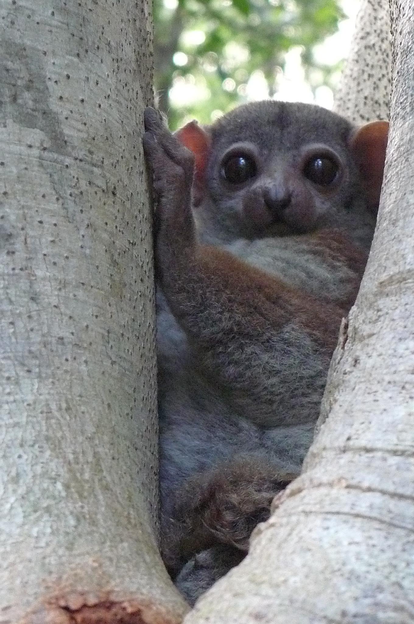 Image of Milne Edwards's sportive lemur