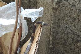 Image of Black-banded Cat-eyed Snake
