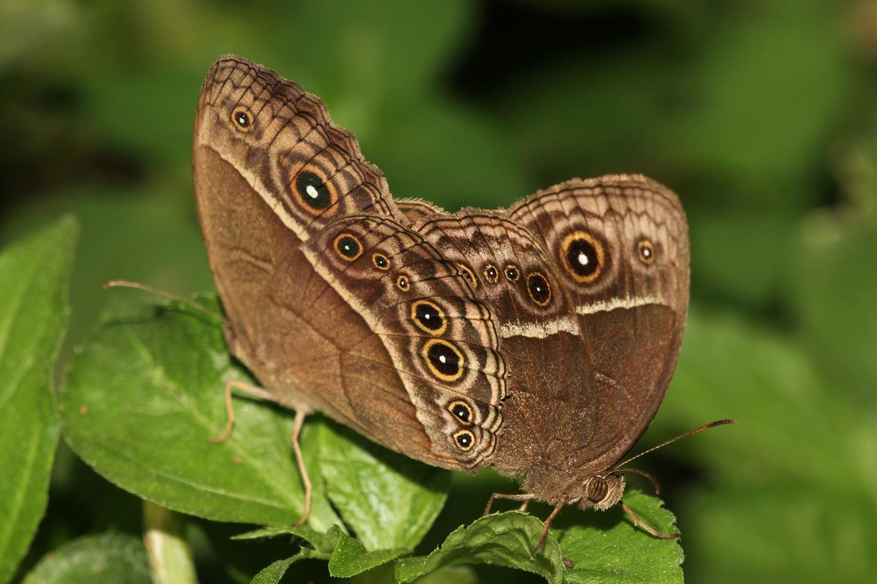 Image of Common Savannah Bush Brown