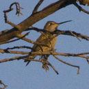 Image of Anna's Hummingbird