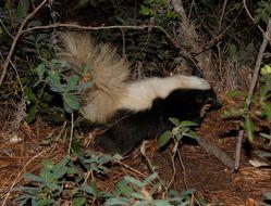 Image of eastern hog-nosed skunk