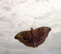 Image of <i>Euryphura plautilla</i> Hewitson 1865