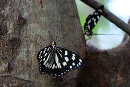 Image of <i>Hestina persimilis japonica</i>