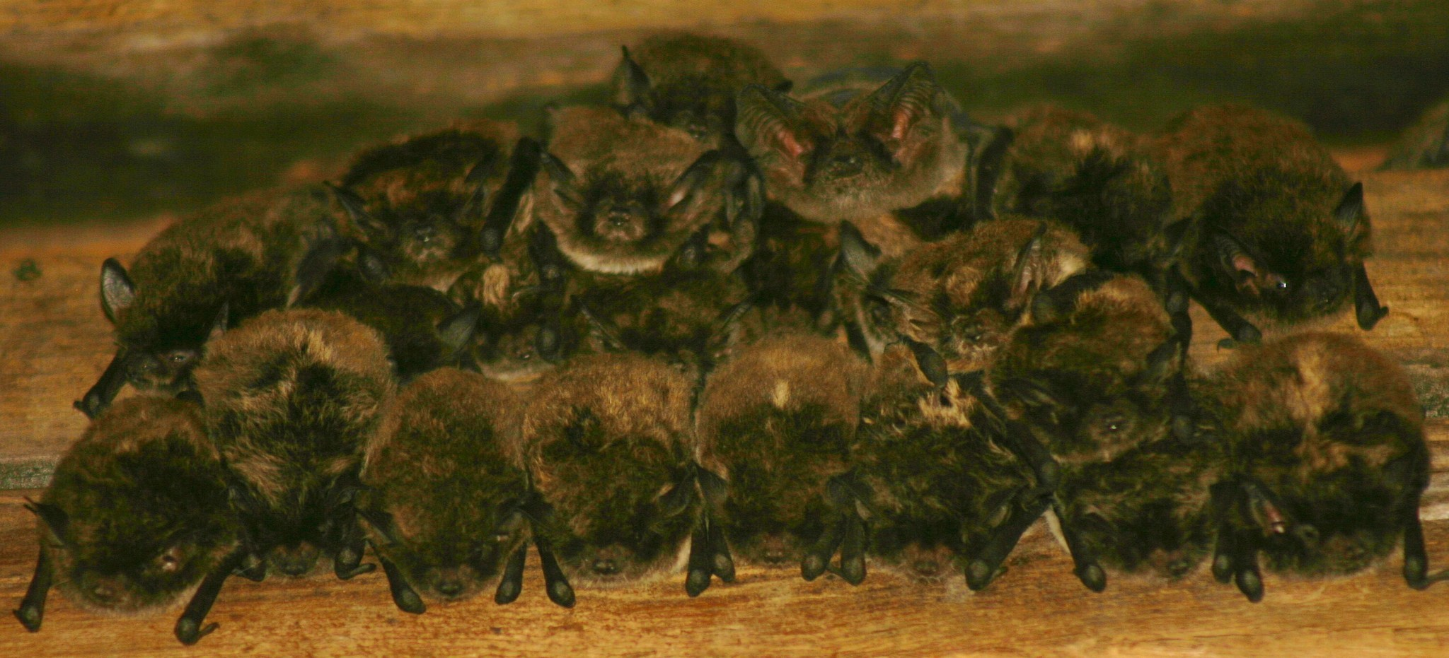 Image of Yellowish Myotis