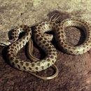 Image of Caucasian Rat Snake