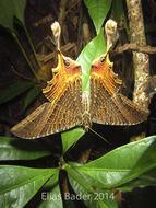 Image of Nothus lunus