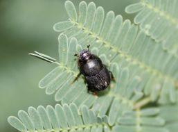 Image of <i>Onthophagus cyanellus</i> Bates 1887