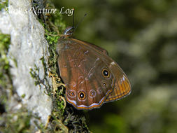 Image of Common Woodbrown Butterfly