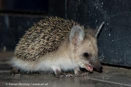 Image of Long-eared Hedgehog
