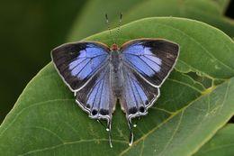 Image of <i>Hemiolaus caeculus</i> (Hopffer 1855)
