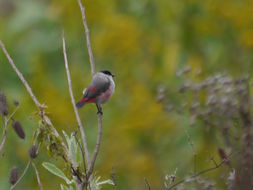 Image of Black-crowned Waxbill