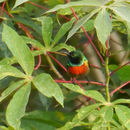 Image of Tiny Sunbird