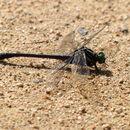 Image of <i>Asiagomphus melaenops</i> (Selys 1854)